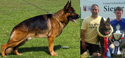 The Champion Stud Dogs & Stud Services Of Mittelwest German Shepherds
