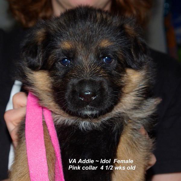 Breeing Female VA Addie vom Mittelwest - Progeny 104