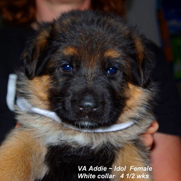 Breeing Female VA Addie vom Mittelwest - Progeny 105