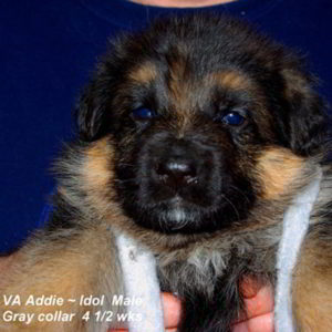 Breeing Female VA Addie vom Mittelwest - Progeny 107