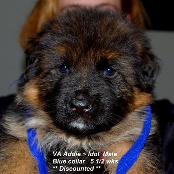 Breeing Female VA Addie vom Mittelwest - Progeny 111