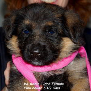 Breeing Female VA Addie vom Mittelwest - Progeny 112