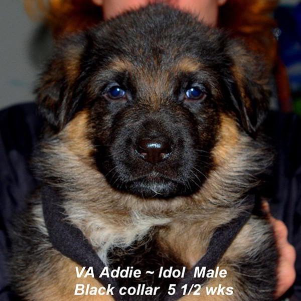 Breeing Female VA Addie vom Mittelwest - Progeny 114