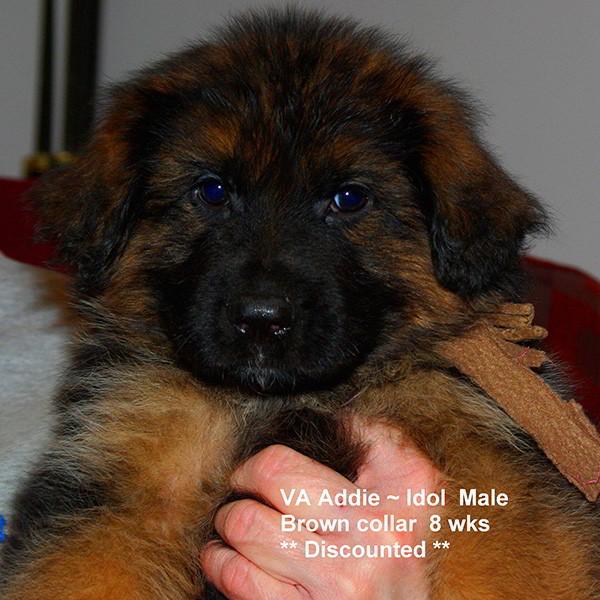 Breeing Female VA Addie vom Mittelwest - Progeny 116