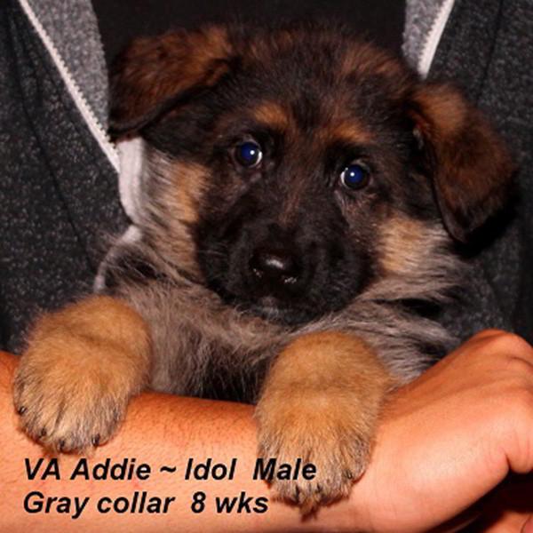 Breeing Female VA Addie vom Mittelwest - Progeny 117