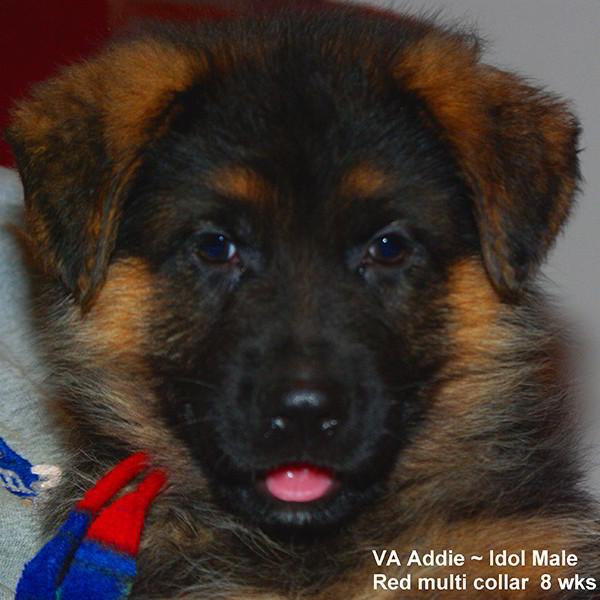 Breeing Female VA Addie vom Mittelwest - Progeny 119