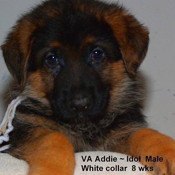 Breeing Female VA Addie vom Mittelwest - Progeny 120