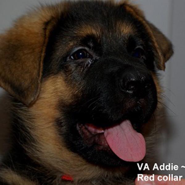 Breeing Female VA Addie vom Mittelwest - Progeny 121