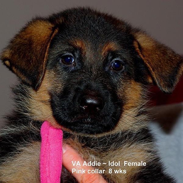 Breeing Female VA Addie vom Mittelwest - Progeny 124