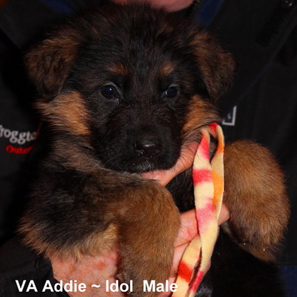 Breeing Female VA Addie vom Mittelwest - Progeny 127