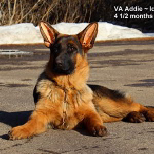 Breeing Female VA Addie vom Mittelwest - Progeny 129