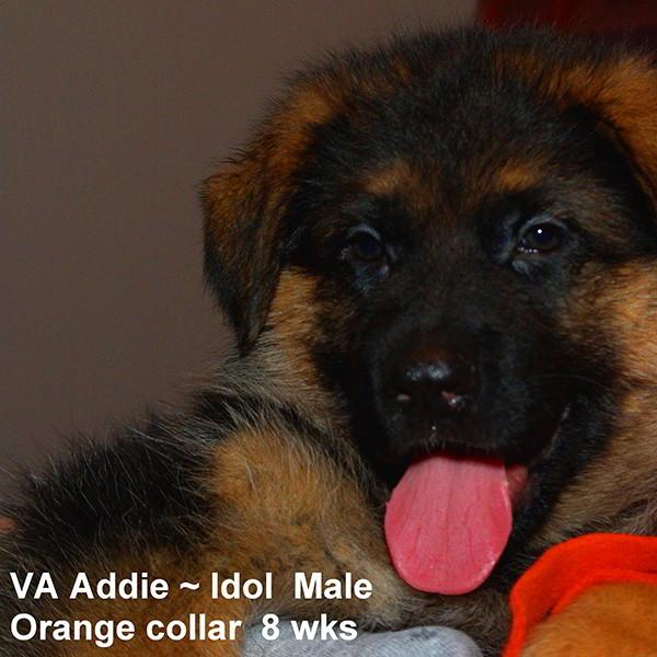 Breeing Female VA Addie vom Mittelwest - Progeny 131