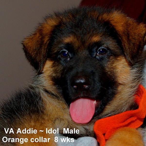 Breeing Female VA Addie vom Mittelwest - Progeny 132