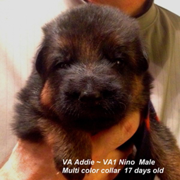 Breeing Female VA Addie vom Mittelwest - Progeny 136