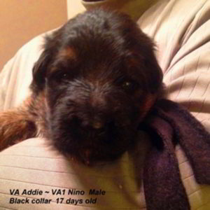 Breeing Female VA Addie vom Mittelwest - Progeny 138