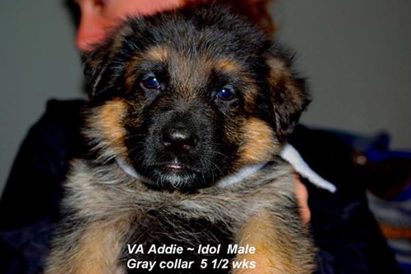 Breeing Female VA Addie vom Mittelwest - Progeny 17