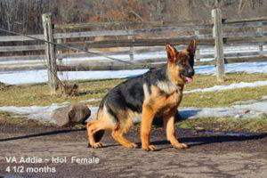 Breeing Female VA Addie vom Mittelwest - Progeny 18