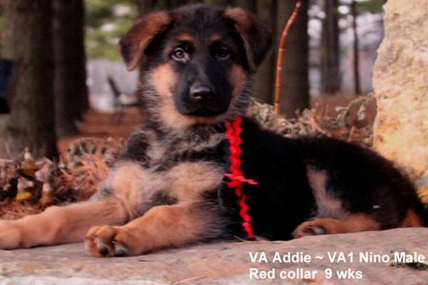 Breeing Female VA Addie vom Mittelwest - Progeny 26