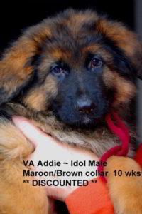 Breeing Female VA Addie vom Mittelwest - Progeny 31