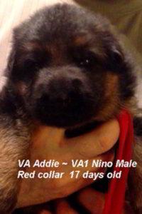 Breeing Female VA Addie vom Mittelwest - Progeny 69