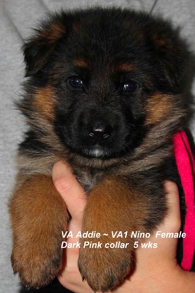 Breeing Female VA Addie vom Mittelwest - Progeny 76