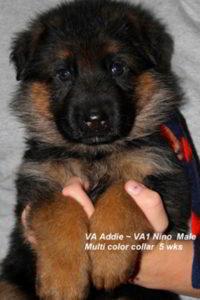 Breeing Female VA Addie vom Mittelwest - Progeny 78