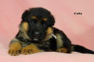 Breeing Female VA Addie vom Mittelwest - Progeny 8