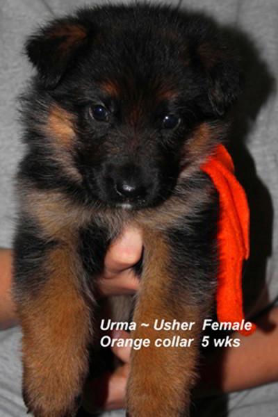 Breeing Female VA Addie vom Mittelwest - Progeny 80