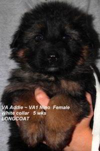 Breeing Female VA Addie vom Mittelwest - Progeny 83