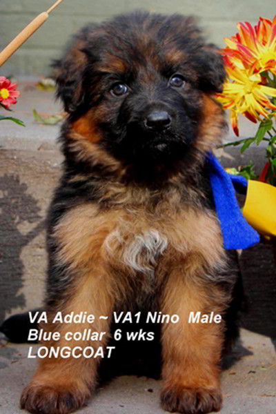 Breeing Female VA Addie vom Mittelwest - Progeny 84