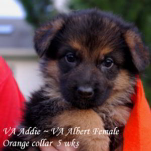 Breeing Female VA Addie vom Mittelwest - Progeny 99