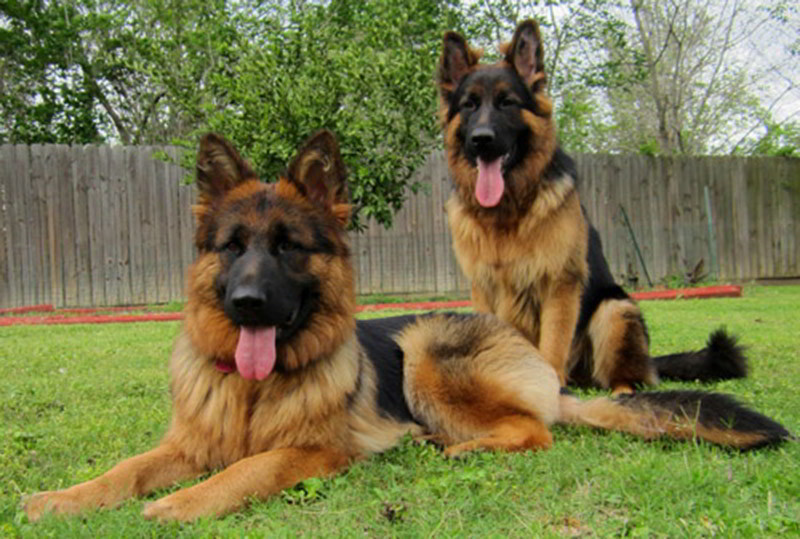 Long Coat German Shepherd Puppies For Sale By Mittelwest