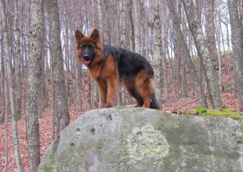 Long Coated Male - Xander By VA1 Titan At 10 Months Old - 2