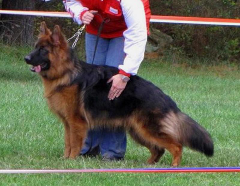 Long Coat German Sheph...