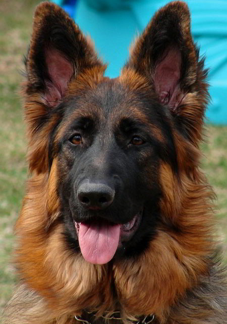 Mittelwest Female German Shepherds For Sale