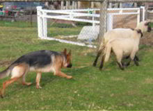 Mittelwest German Shepherd Dogs At Work Herding Dogs