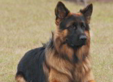 Mittelwest German Shepherd Dogs At Work Military Dogs