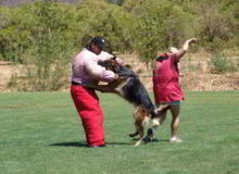Mittelwest German Shepherd Dogs At Work Ring Sport Dogs