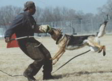 Mittelwest German Shepherd Dogs At Work Shutzhund Training Dogs