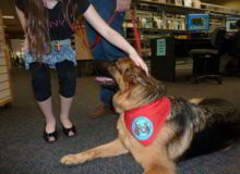 Mittelwest German Shepherd Dogs At Work Therapy Dogs