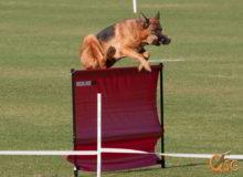 Mittelwest German Shepherd Dogs At Work Universal Sieger Winner Dogs