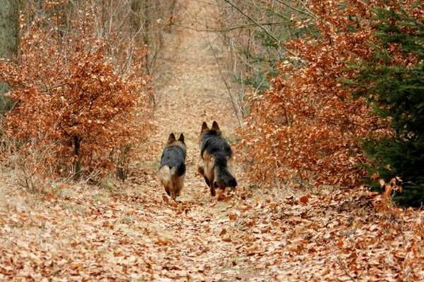 The Kennels Of Mittelwest German Shepherds In Wonder Lake Illinois 28