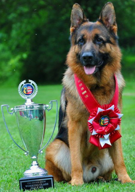 Mittelwests Champion Stud German Shepherds