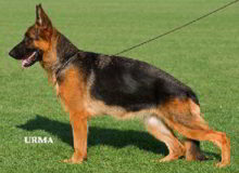 Mittelwest's Retired Breeding Females - V Cola vom Mittelwest - SchH2, KKL1a ZW: 83