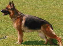 Mittelwest's Retired Breeding Females - V Demi vom Mittelwest - Sch2, KKL, Lbz