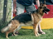 Mittelwest's Retired Breeding Females - V Minnie vom Mittelwest - SchH2, KKL1