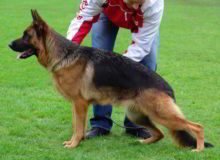 Mittelwest's Retired Breeding Females - V1 Ellie vom Mittelwest - SchH2, KKL, Lbz, ZW:88