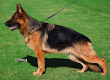 Mittelwest's Retired Breeding Females - V1 Nami vom Mittelwest - Sch3 (IPO3), KKL
