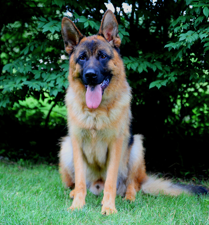 Adult Male For Sale - Xano vom Haus Dexel
