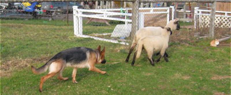 Bette vom Mittelwest Hearding Sheep